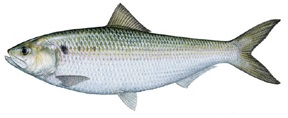 Shad, a fish native to the James River in VA.